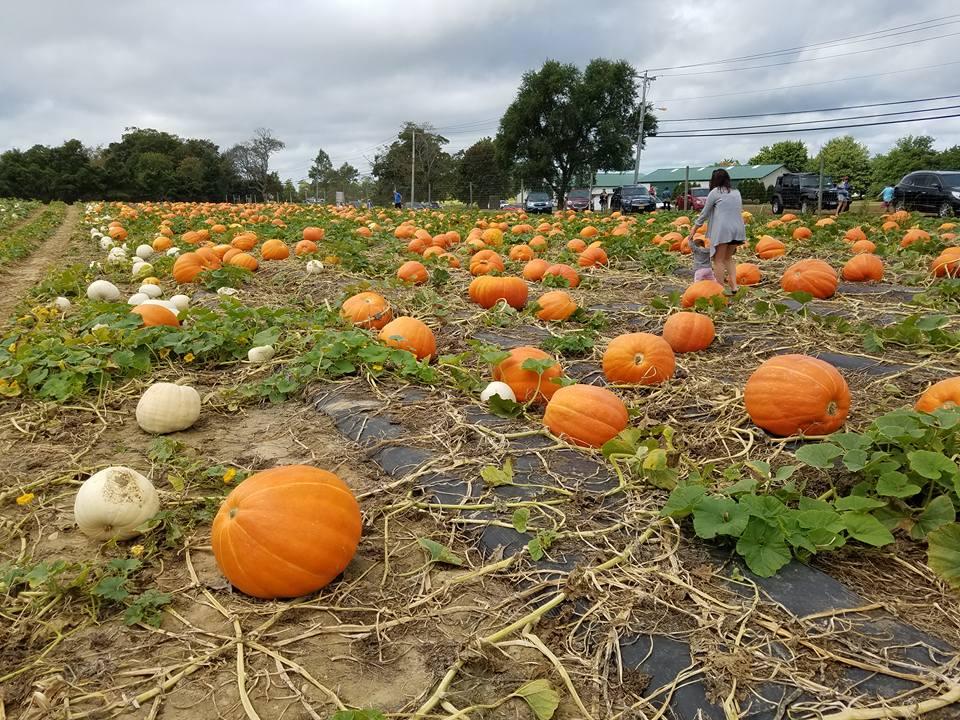 Pumpkin Picking Suffolk Long Island