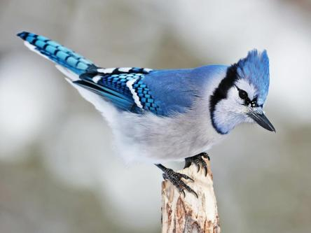 bird bluejay
