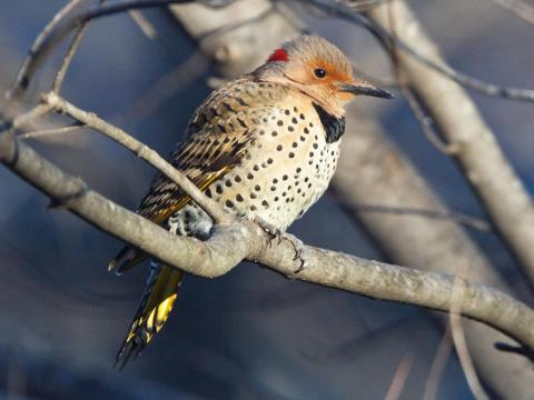 bird flicker