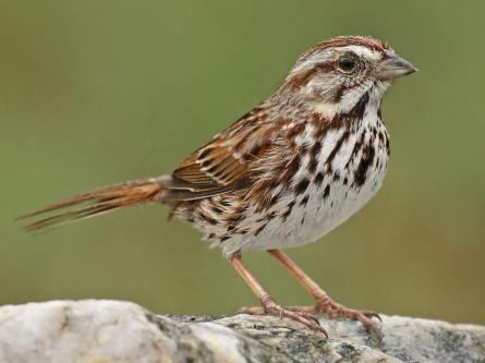 bird song sparrow